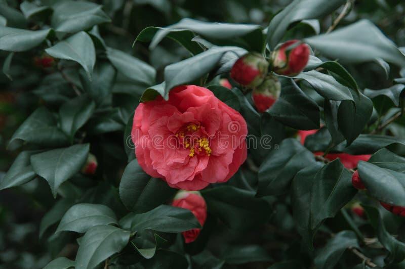 Красная камелия в дереве стоковые фотографии rf