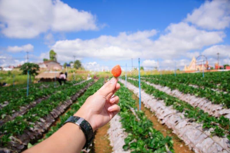 Красная клубника в саде стоковое фото rf