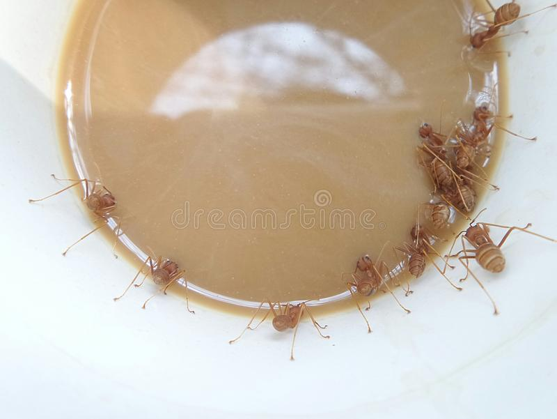 Красная компановка муравьев в кружке кофе стоковые изображения