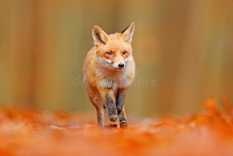 Красная лиса бежать в оранжевых листьях осени Милый красный Fox, лисица лисицы, животное леса падения красивое в среду обитания п стоковые изображения rf