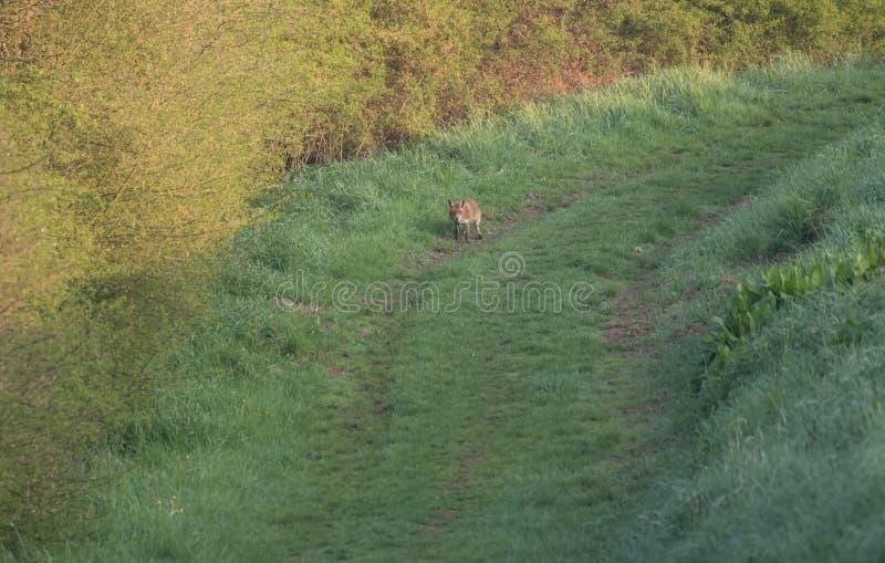 Красная лиса в поле в траве стоковые фото