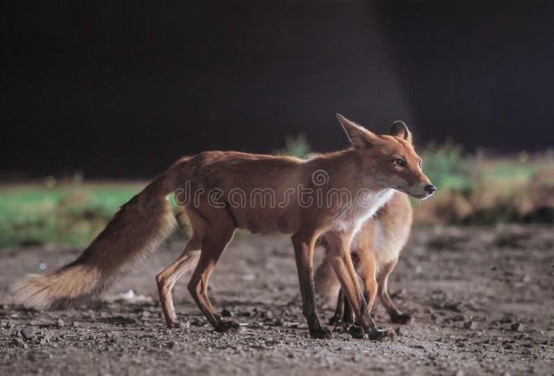 Красная лиса приходит к городу вечером стоковое изображение