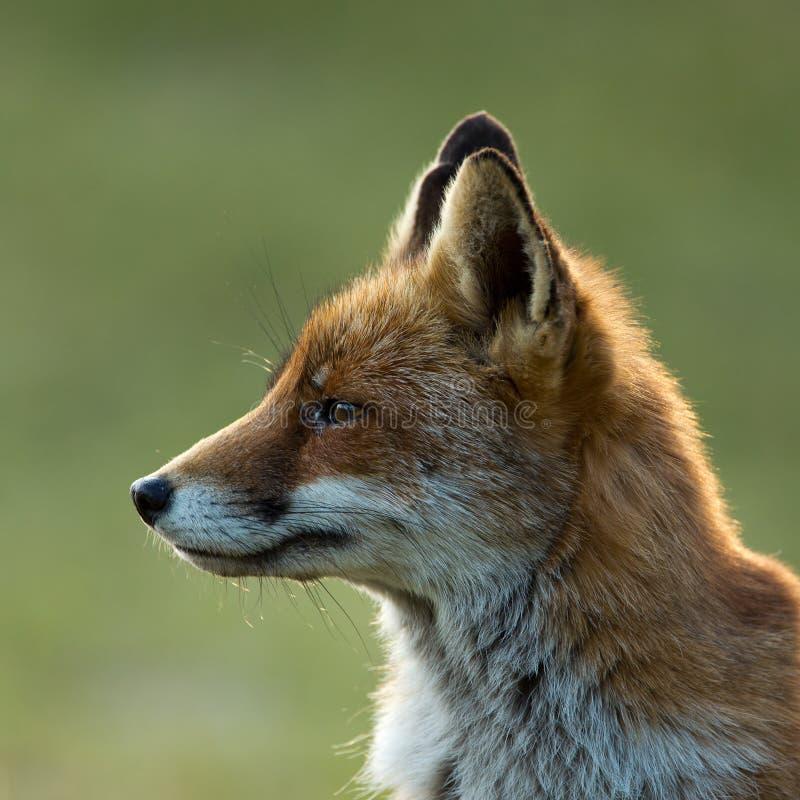 Красная лисица стоковые изображения