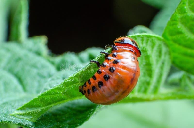Красная личинка жука картошки Колорадо ест листья картошки стоковая фотография rf