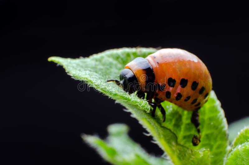 Красная личинка жука картошки Колорадо ест листья картошки стоковое фото rf