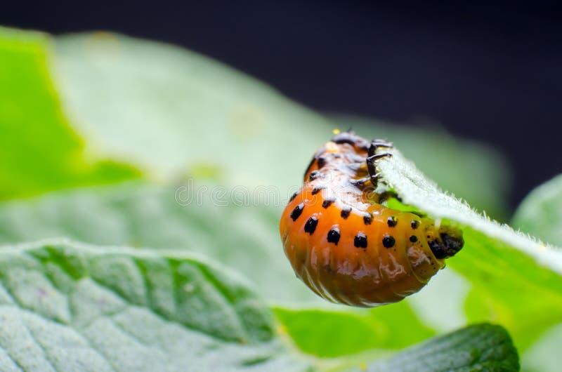 Красная личинка жука картошки Колорадо ест листья картошки стоковое изображение