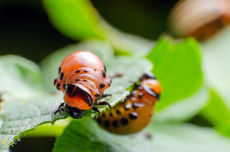 Красная личинка жука картошки Колорадо ест листья картошки стоковые изображения