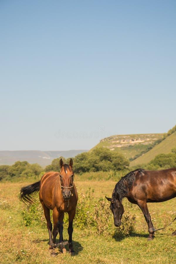 Красная лошадь есть траву на выгоне в заповеднике соотечественника Dombai стоковые изображения rf
