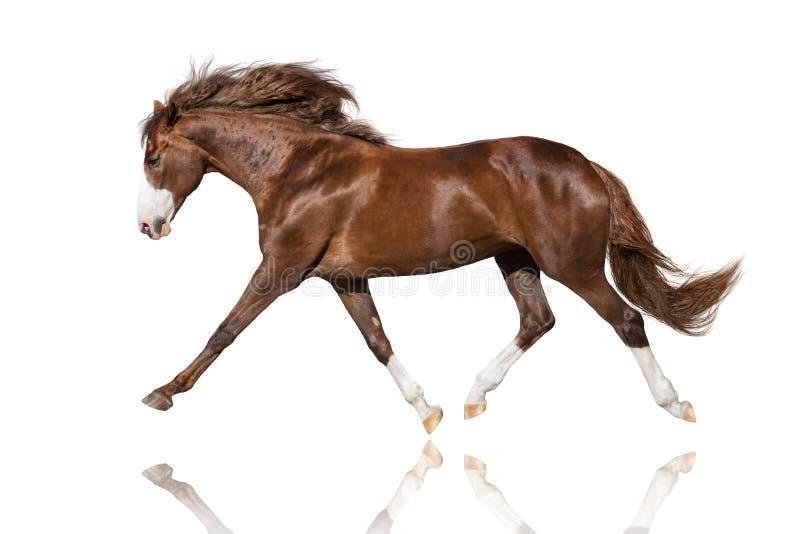 Красная лошадь с длинной гривой на белизне стоковое изображение
