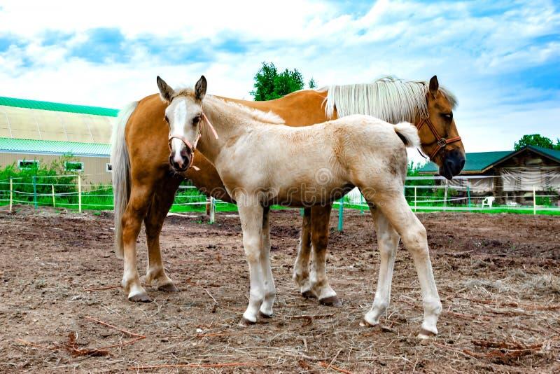 Красная лошадь с молодым осленком пася Конюшня стоковые изображения rf
