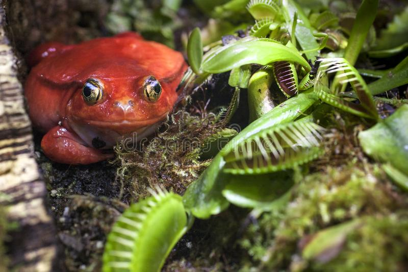 Красная лягушка в плотоядных заводах охотится на насекомых стоковые фото