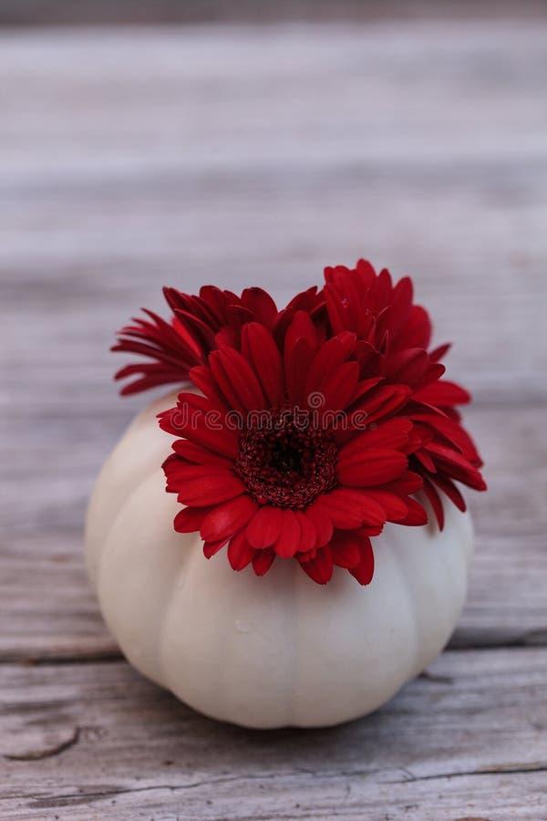 Красная маргаритка gerbera в высекаенной белой тыкве Casper стоковая фотография rf