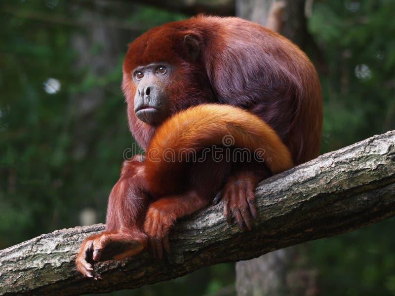 Красная обезьяна ревуна стоковая фотография
