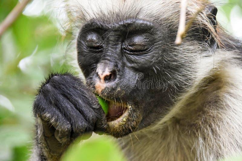 Красная обезьяна Colobus Procolobus Kirkii стоковое изображение rf