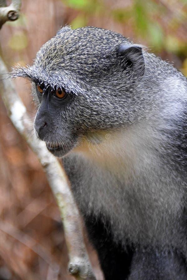 Красная обезьяна Colobus Procolobus Kirkii стоковое фото