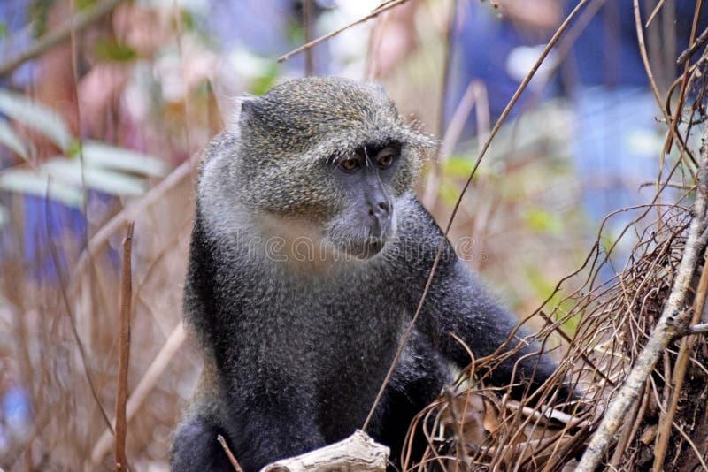 Красная обезьяна Colobus Procolobus Kirkii стоковые фото