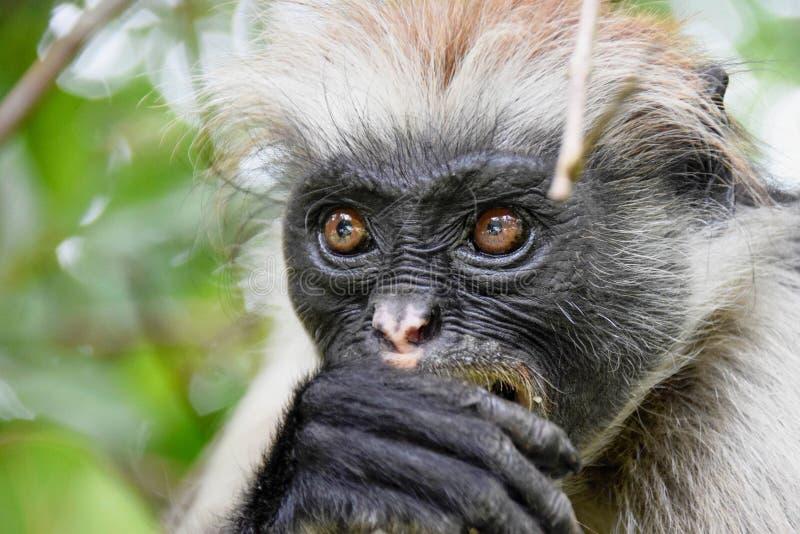 Красная обезьяна Colobus Procolobus Kirkii стоковые фотографии rf