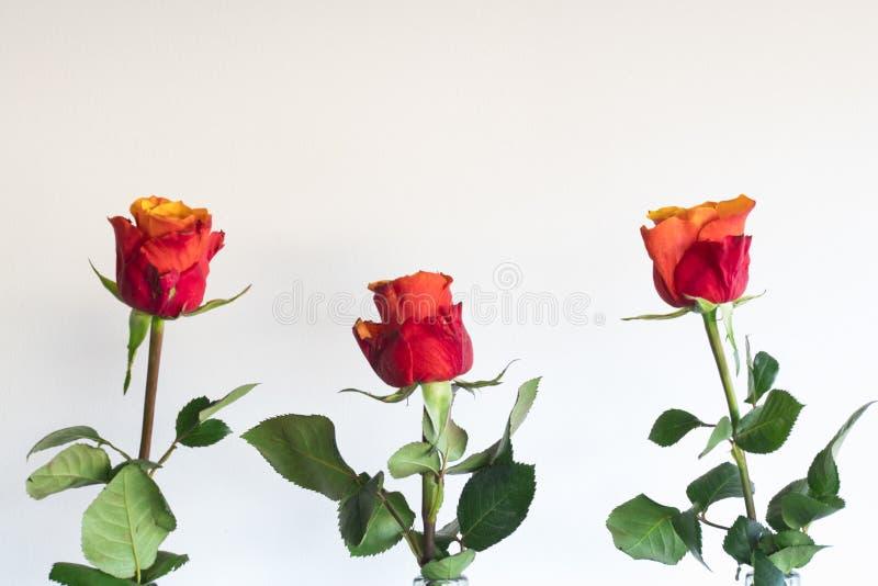 Красная оранжевая роза в бутылке, против белой предпосылки стоковое изображение