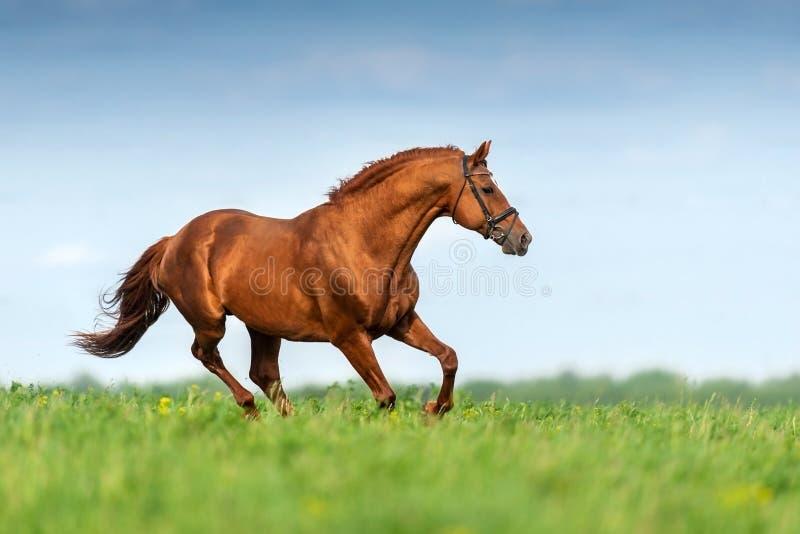 Красная лошадь в движении стоковое изображение rf