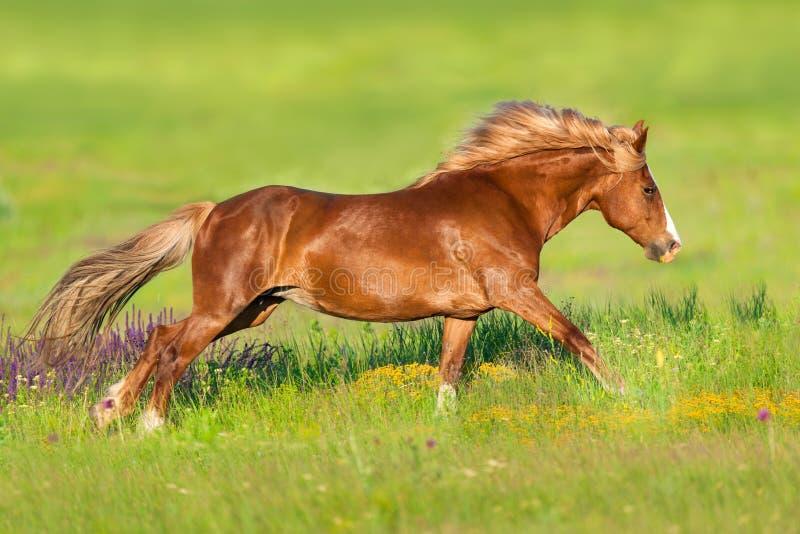 Красная лошадь, который побежали в цветках стоковые изображения rf