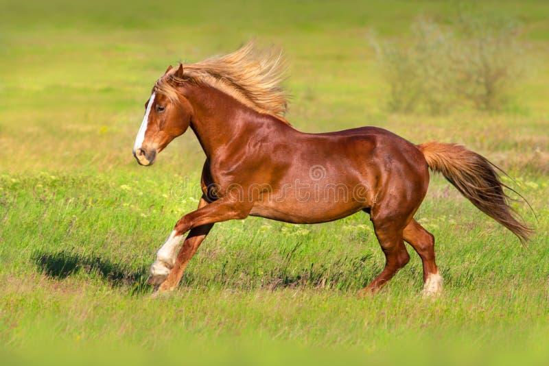 Красная лошадь с белокурым длинным бегом гривы стоковое изображение