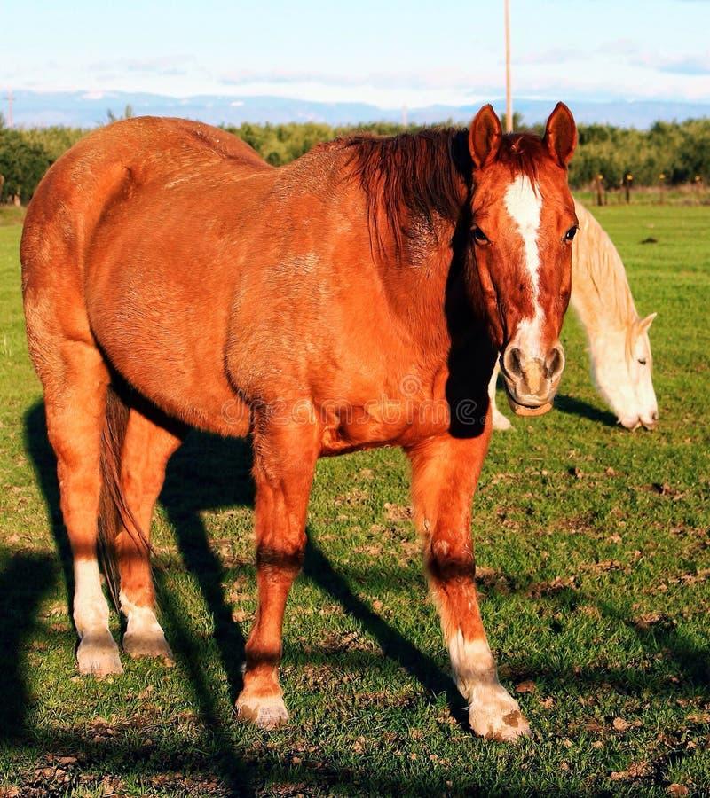 Красная лошадь стоковые изображения