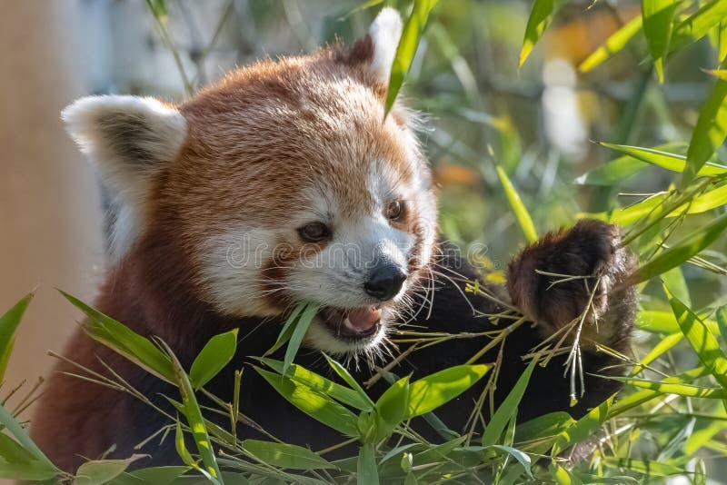 Красная панда стоковая фотография rf