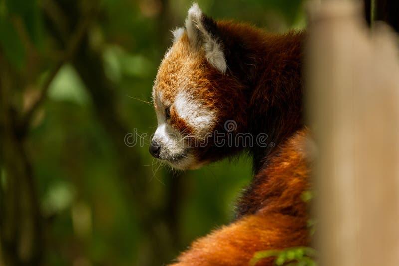 Красная панда смотря в древесины стоковое фото rf