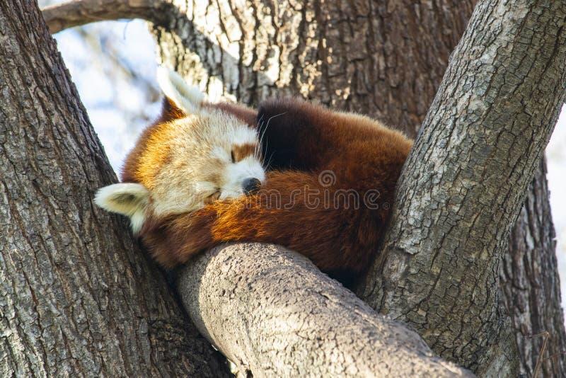 Красная панда спать в дереве стоковое изображение