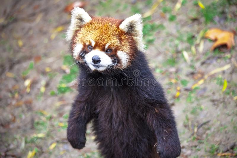 Красная панда Красная панда стоит на своих задних ногах Крупный план красной панды стоковое изображение rf