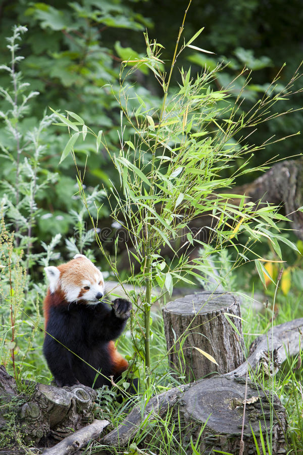 Красная панда. стоковые фотографии rf