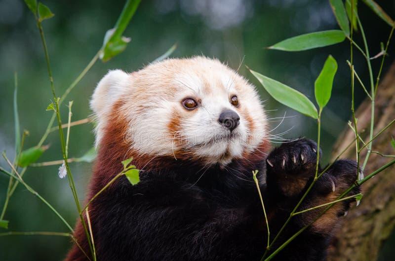 Красная Панда Бесплатное  из Общественного Достояния Cc0 Изображение