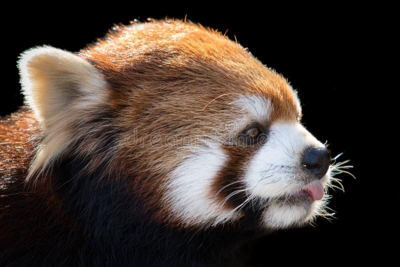 Красная панда XIII стоковая фотография rf