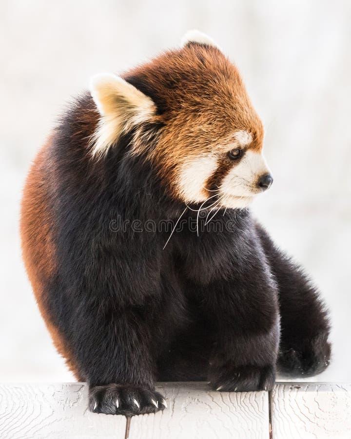 Красная панда XXIV стоковые изображения rf