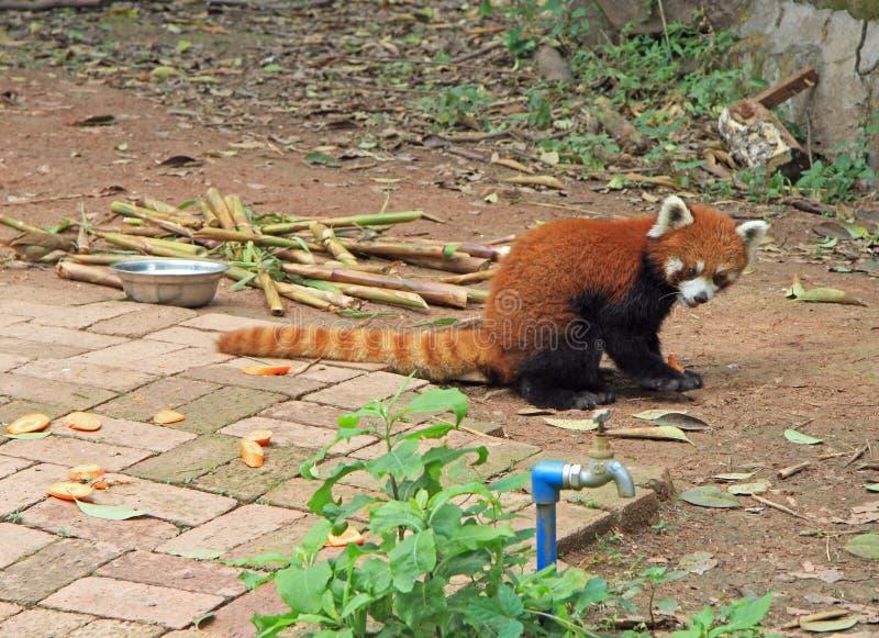 Красная панда в парке Чэнду стоковое фото