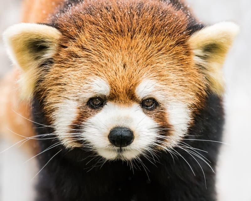 Красная панда в снеге III стоковые изображения