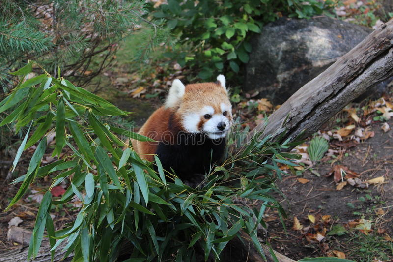 Красная панда стоковая фотография