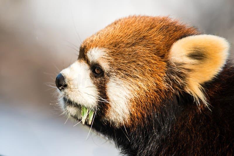 Красная панда IX стоковая фотография rf