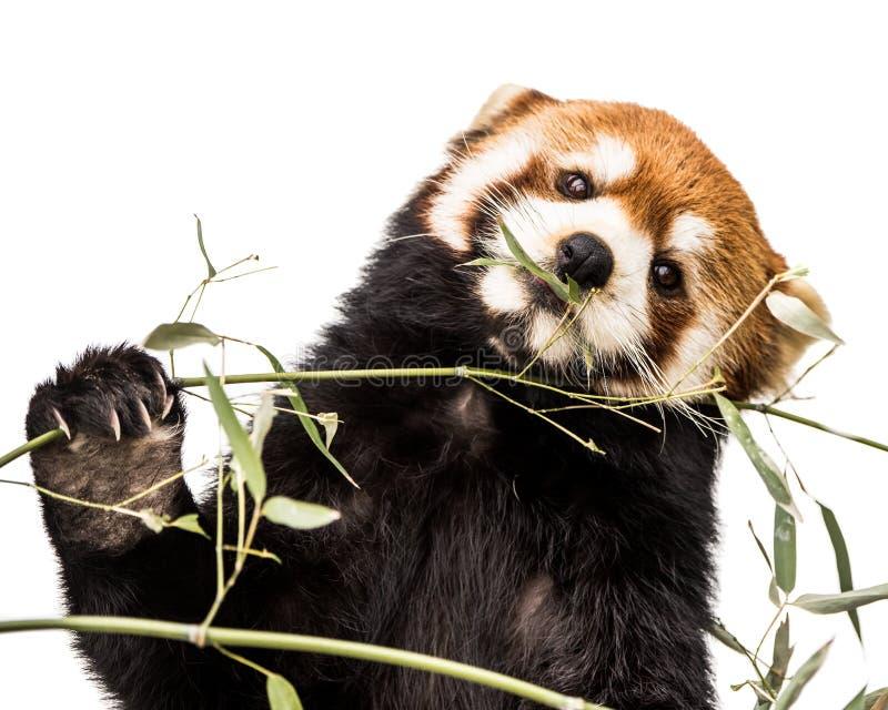 Красная панда XIV стоковые фото