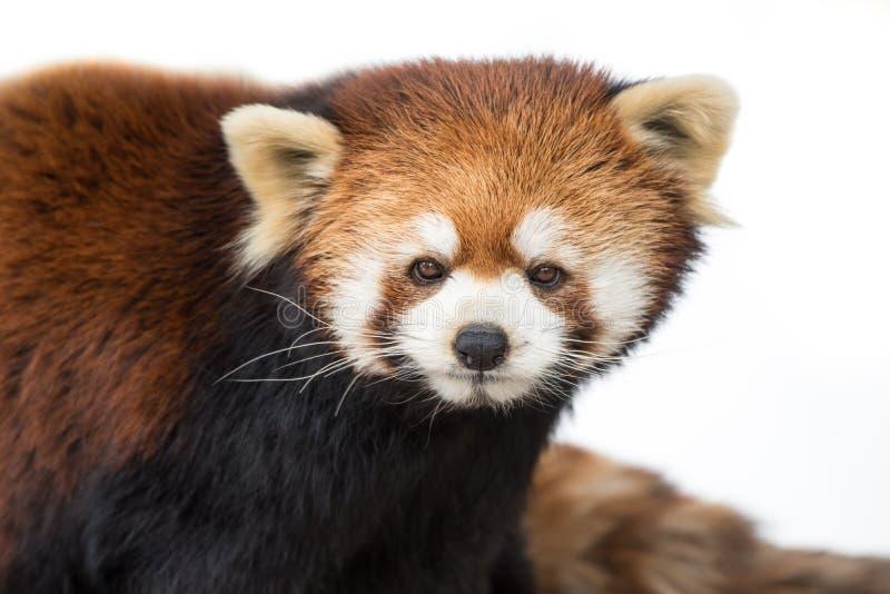 Красная панда XVI стоковые изображения rf