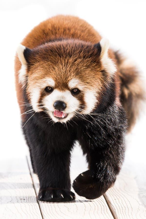 Красная панда XXI стоковые фотографии rf