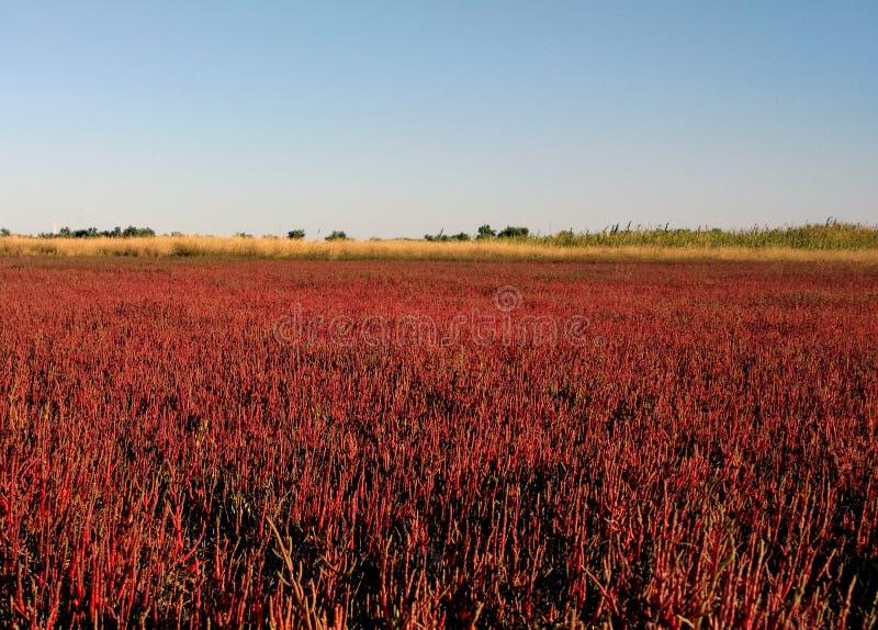 Красная плантация растя на топи соли, сценарная естественная предпосылка europaea salicornia Пляж озера Ustrychne внутри стоковые изображения