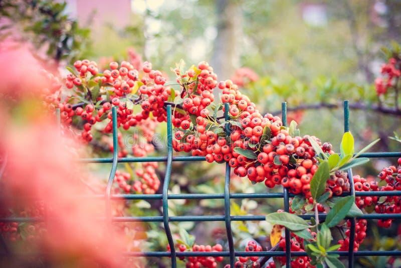 Красная природа ягод стоковые фотографии rf
