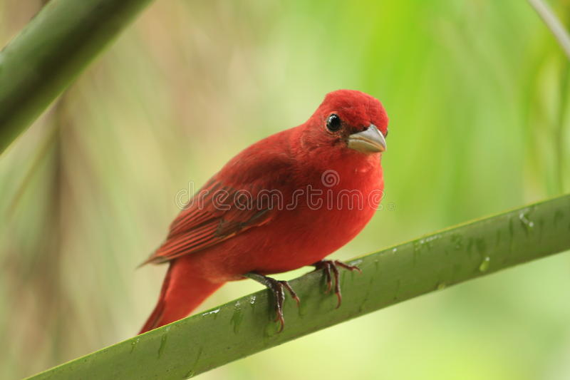 Красная птица на ветви стоковые фотографии rf