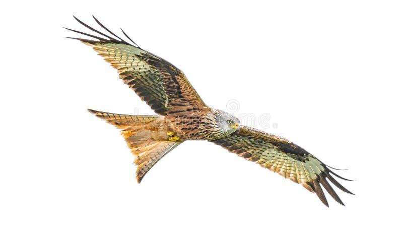 Красная птица milvus Milvus змея летает с полным размахом крыла изолированным на белой предпосылке стоковая фотография