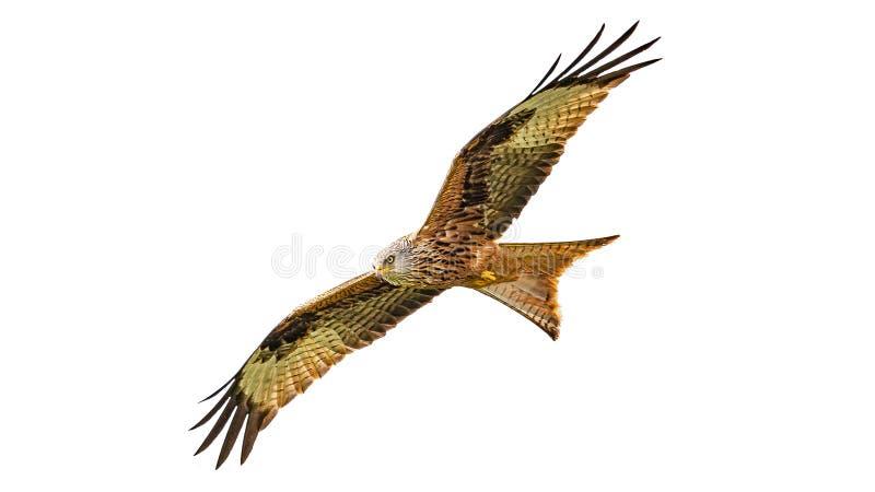 Красная птица milvus Milvus змея летает с полным размахом крыла изолированным на белой предпосылке стоковое изображение