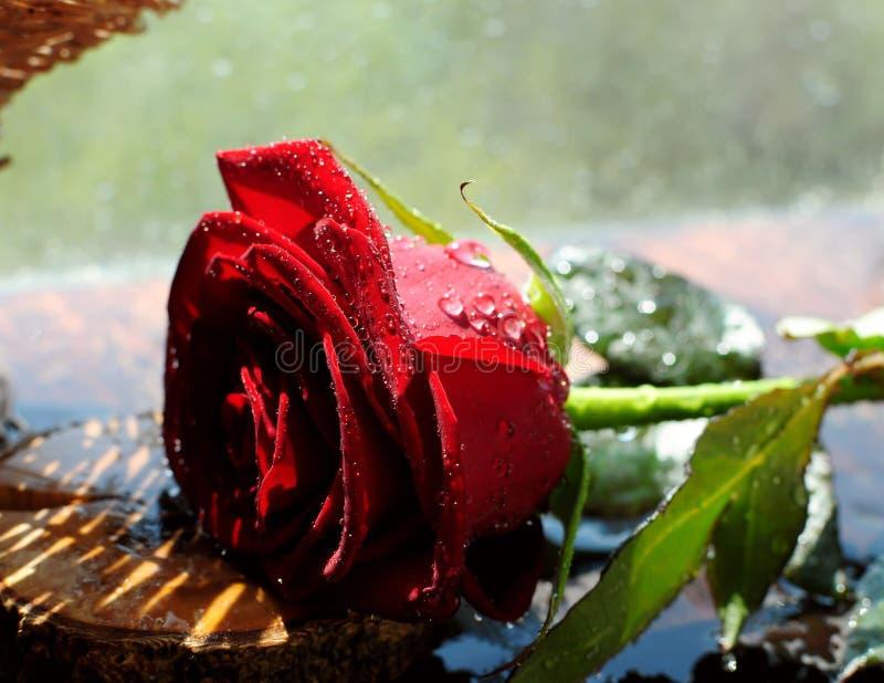 Красная роза в брызге воды стоковая фотография rf