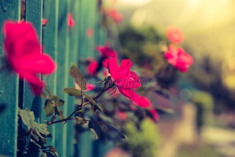 Красная роза в задворк, красивом bokeh стоковые фото