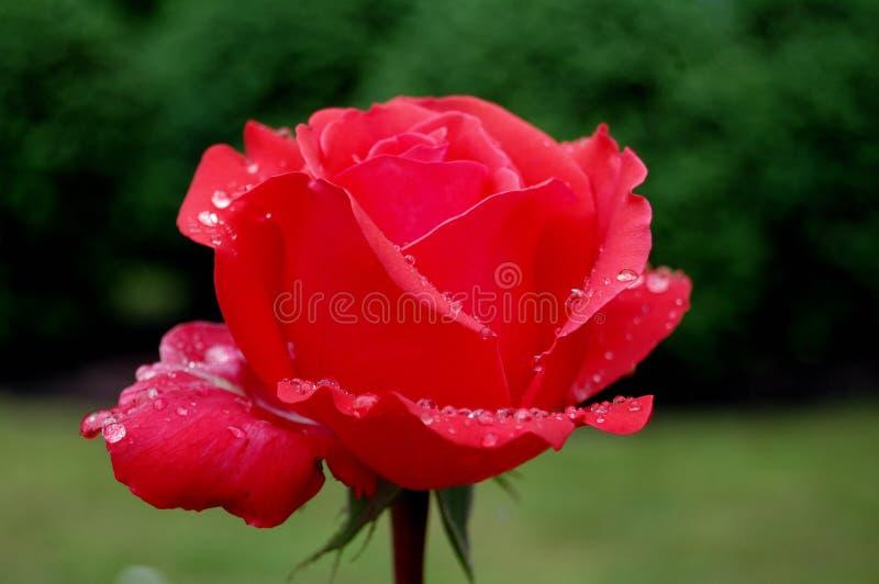 Красная роза в росе стоковое изображение