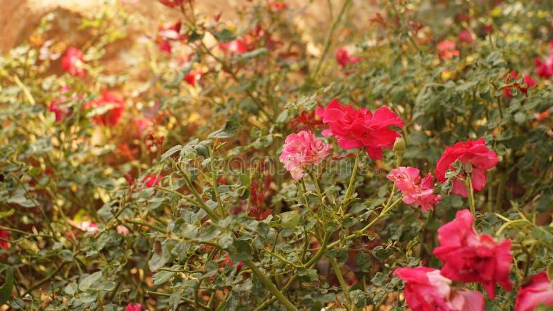 Красная роза в саде стоковое фото